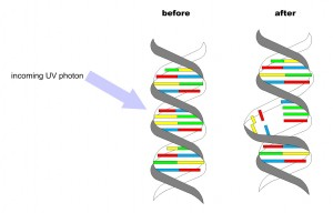 Changes in DNA from UVC light